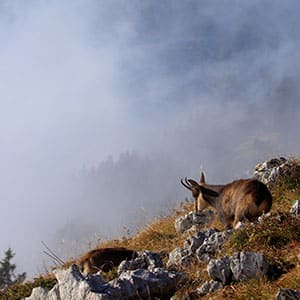 Agence Photo : Illustration Chamois Faune Alpes